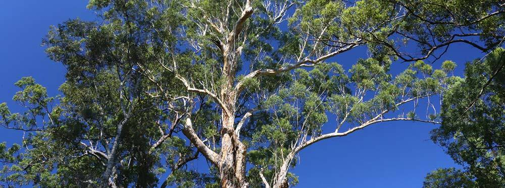 blackbutt-timber-blackbutt-tree